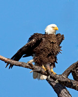 Bald Eagles, Ospreys, Hawks, Norther Harriers, and Merlins