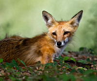 Red Foxes - 2012