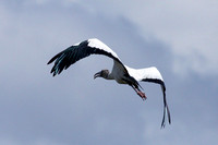 Anhingas, Ibises, and Woodstorks