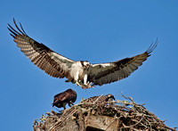 Ospreys, June 2010